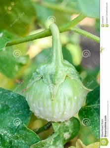 Green Eggplant Stock Photo - Image: 57555678