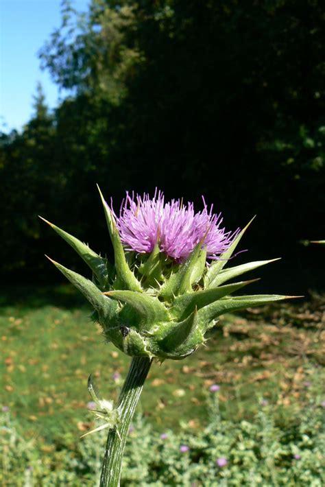 plantes de phytotherapie chardon marie