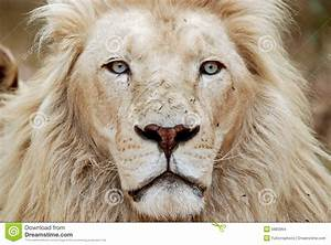 African White Lion Portrait Stock Photo - Image: 6883964