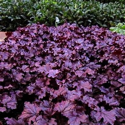 Heuchera Purple Forever Terranovanurseries Nurseries Nova Terra