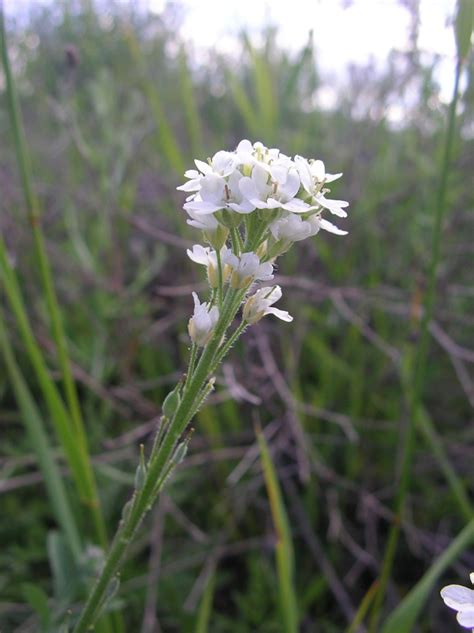 hoary alyssum invasive species plants identify animals bc fungi fish insects bcinvasives