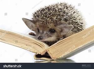 Hedgehog On Book Stock Photo 16446079   Shutterstock