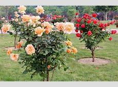 Rose Cultivation Information Guide Asia Farming