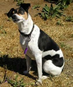 rat terrier dog breed video pictures information