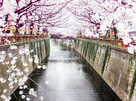 cherry japan season sakura blossoms miss them attraction web thomas makes