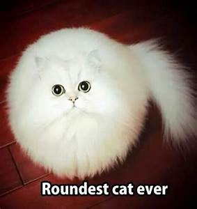 Roundest Cat Ever | Funny Animal Pictures