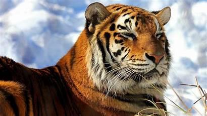 Tiger Siberian Tygrys Wallpapers Bengal Tigre Syberyjski