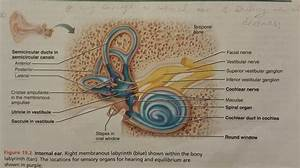 Activity 1  Anatomy Of The Ear And Identifying Structures Of The Ear Flashcards