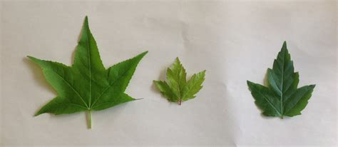 types of maple leaves with pictures can you please tell me what types of maples these are thank you ryan ask an expert