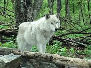 Beautiful White Wolf deviantART