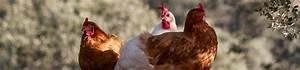 Comment élever Des Poules Pondeuses : elever des poules pondeuses dans son jardin gamm vert ~ Dode.kayakingforconservation.com Idées de Décoration