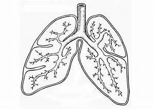 Lungs Coloring Worksheet
