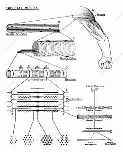 Skeletal Muscle  Diagram - Stock Image  5448