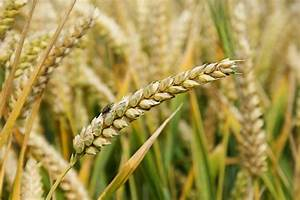 Russian wheat crop hit by 'quality issues' too | Agrodaily
