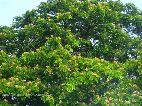 summer flowering trees the urban gardener summer sherbet mumbai s flowering trees