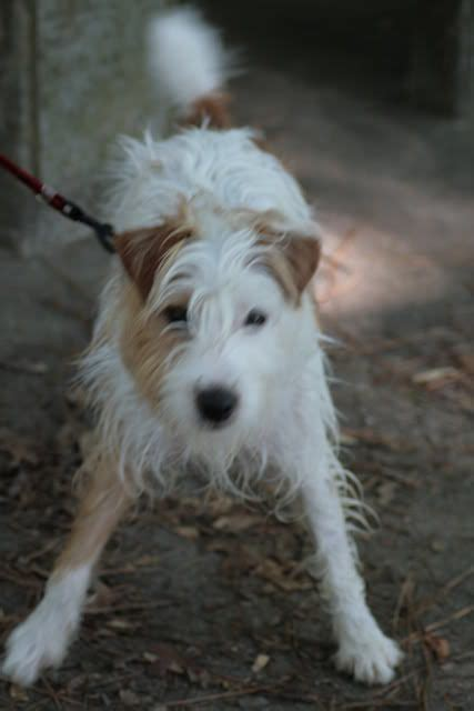 image result  rough coated jack russell terrier