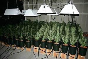 Under Cabinet Grow Light Autoflowering Cannabis Seeds