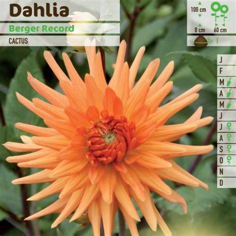 dahlia cactus berger record vente dahlia cactus