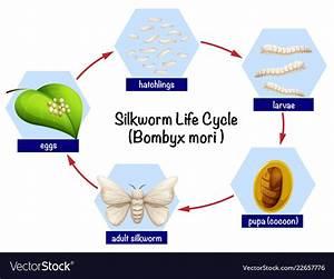 Silkworm Life Cycle Diagram Royalty Free Vector Image