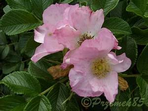 Rose In Kartoffel Anpflanzen : kartoffel rose rosa rugosa 39 dagmar hastrup 39 pflanzen ~ Lizthompson.info Haus und Dekorationen