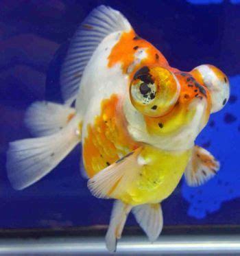 stars  animals wallpapers fancy aquarium gold