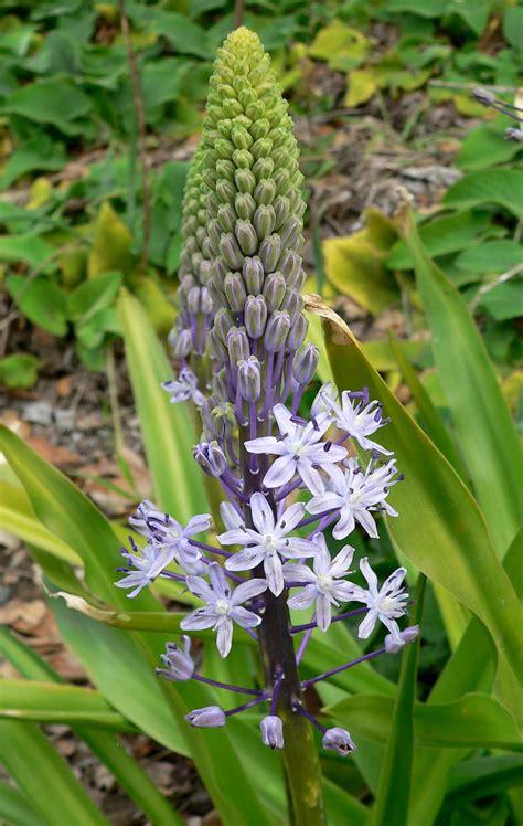 scilla hyacinthoides wikipedia
