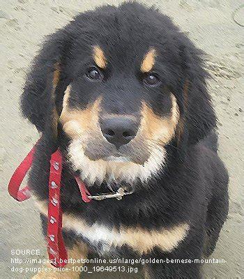 Golden Mountain Dog Breed Information