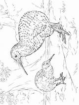 Kiwi Coloring Birds Printable Recommended sketch template