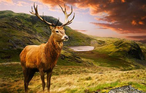 framed print highland stag   scottish mountains