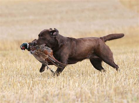 labrador retriever ausfuehrliche rassebeschreibung