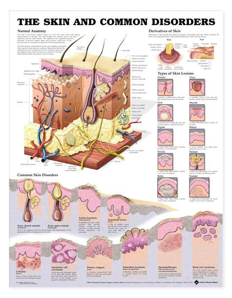 skin  common disorders anatomical chart anatomy