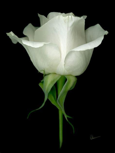 white rose  black background  single white rose