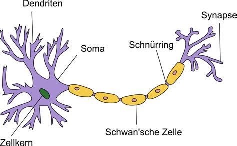 neurophysiologie die nervenzelle neuron