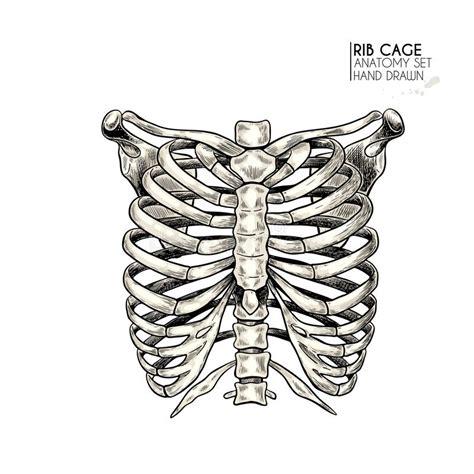 gabbia toracica anatomia illustrazione della gabbia toracica illustrazione di stock