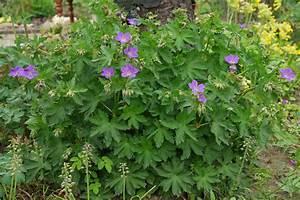 Kübelpflanzen Winterhart Schattig : wald storchschnabel geranium sylvaticum ~ Michelbontemps.com Haus und Dekorationen