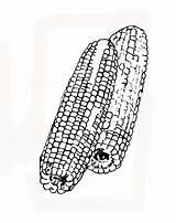 Coloring Crops Corn Crop Coloringsun Sun Button Through Grab Well sketch template