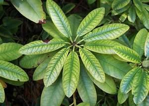 Braune Blätter Am Rhododendron : chlorose magnesiummangel rhododendron krankheiten ~ Lizthompson.info Haus und Dekorationen