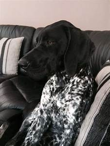 GSP - black/white 7 months old pup | Leicester ...