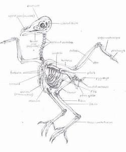 Image Result For Owl Skeleton