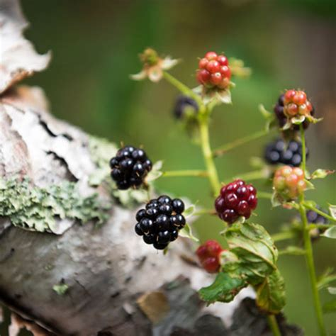 foraging  edible wild plants  field guide  wild