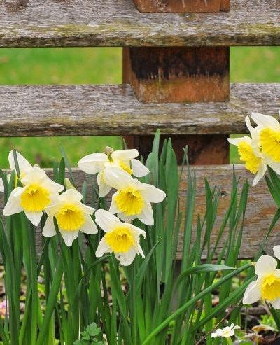 1000 images about bulbs daffodils jonquils on