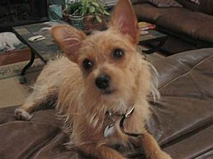 Wire Chiwoxy (Wire Haired Terrier X Chihuahua) Info, Pictures