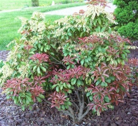 andromeda plant plantfiles pictures japanese pieris andromeda lily of the valley shrub mountain fire