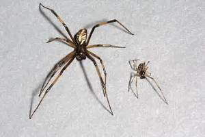 Male black and brown widow spiders - Latrodectus ...