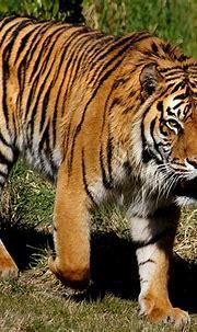 Sumatran tiger walking free image | Peakpx