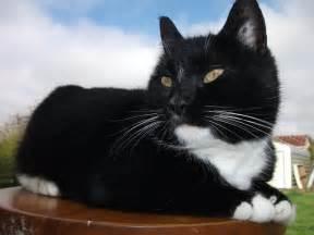 tuxedo cat breed mixed breed tuxedo cat by nokomismoondreamer on deviantart