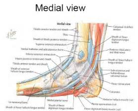 Ankle Medial Foot Muscle Anatomy