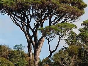 Parasol Grande Taille : pin parasol tree ~ Melissatoandfro.com Idées de Décoration