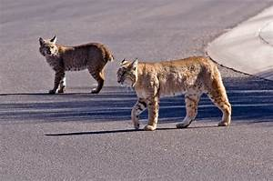 Walk on the Wild Side: Javelina, mountain lion, bobcat ...