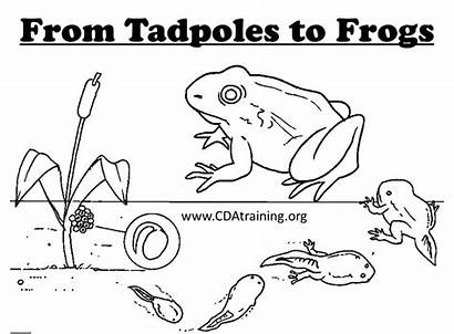 Frog Tadpoles Template Frogs Coloring 3d Paper